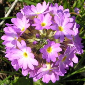 Kugel Primel Blume Bluete lila Primula denticulata 09