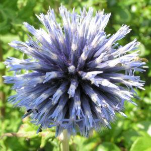 Kugeldistel Bluete blau Echinops spaerocephalus 01