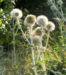 Zurück zum kompletten Bilderset Banater Kugeldistel Blüte weißlich Echinops bannaticus