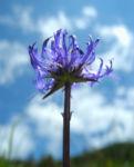 Kugelige Teufelskralle Bluete blau Phyteuma orbiculare 03