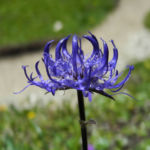 Kugelige Teufelskralle Bluete blau Phyteuma orbiculare 05