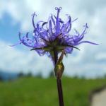 Kugelige Teufelskralle Bluete blau Phyteuma orbiculare 06