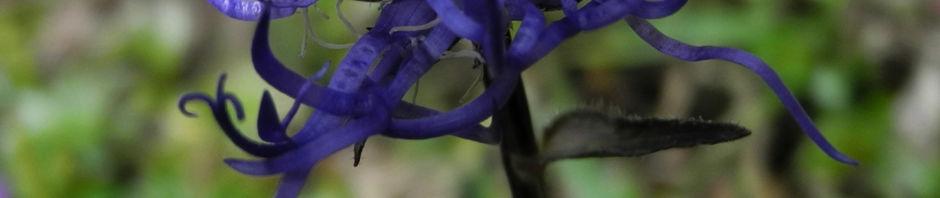 kugelige-teufelskralle-bluete-blau-phyteuma-orbiculare
