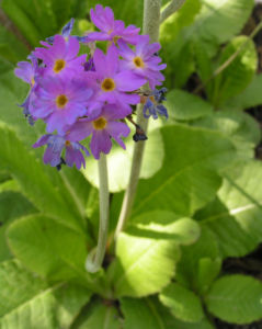 Kugelprimel Bluete lila Primula denticulata 05
