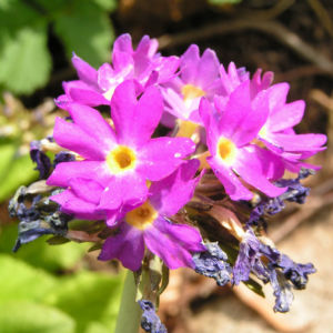 Bild: Kugelprimel Bluete lila Primula denticulata
