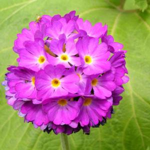 Kugelprimel Bluete lila Primula denticulata 07