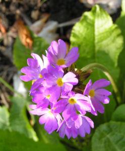 Kugelprimel Bluete lila Primula denticulata 08