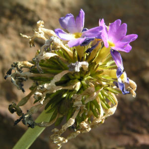 Kugelprimel Bluete lila Primula denticulata 09