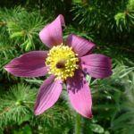 Kuhschelle Pulsatilla vulgaris 03