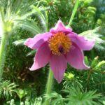 Bild: Kuhschelle Blüte lila Pulsatilla vulgaris