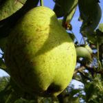 Bild:  Kultur-Birne Birne Frucht Pyrus communis