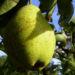 Zurück zum kompletten Bilderset Kultur-Birne Birne Frucht Pyrus communis