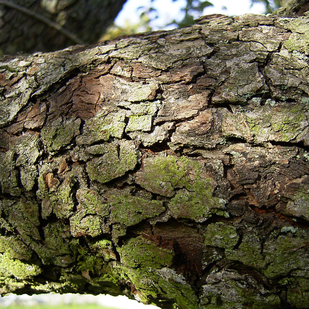 Kultur Birnbaum Birne Pyrus communis