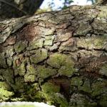 Kultur Birnbaum Birne Pyrus communis 03