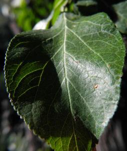 Kultur Pflaume Blatt gruen Prunus domestica 01