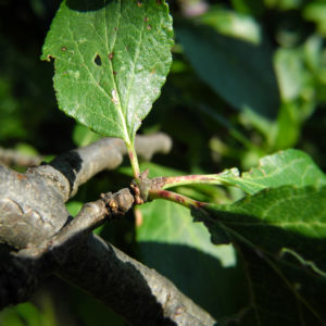 Kultur Pflaume Blatt gruen Prunus domestica 03