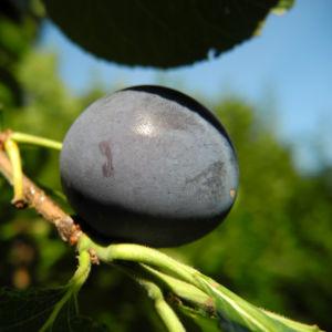 Kultur-Pflaume Frucht lila Prunus domestica