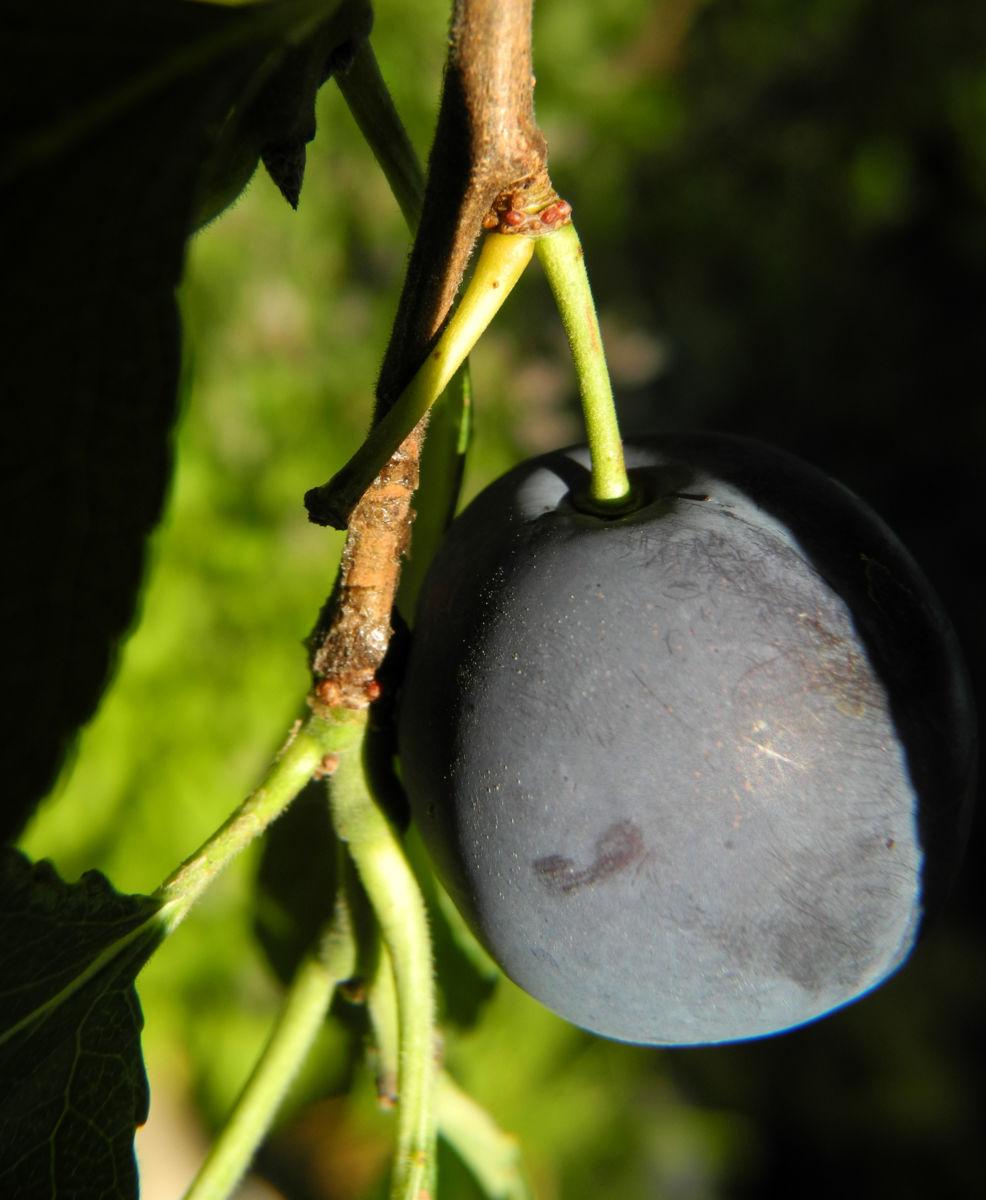 Kultur Pflaume Frucht lila Prunus domestica