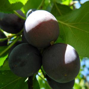 Kultur Pflaume Frucht lila Prunus domestica 11