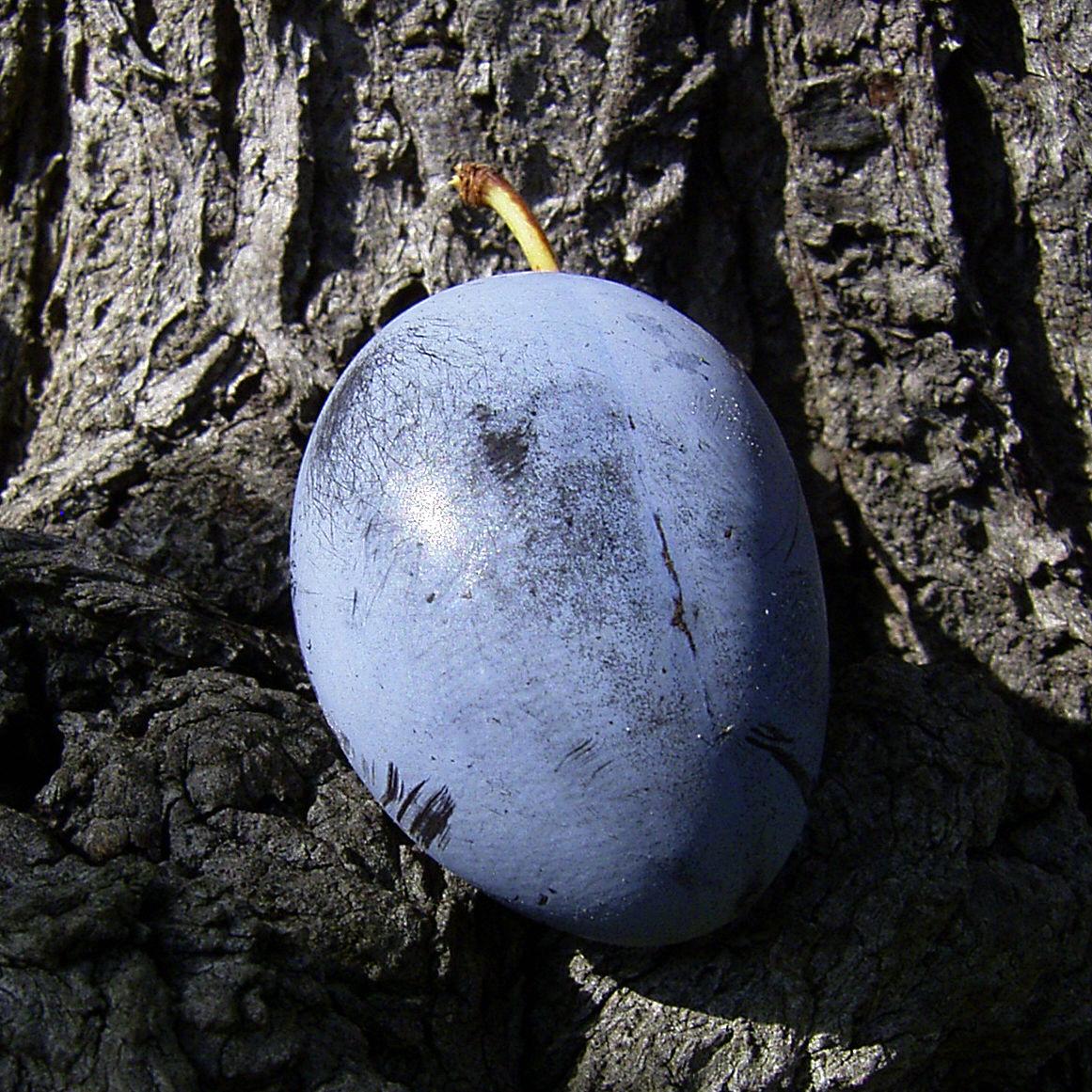 Kultur Pflaume Frucht Prunus domestica