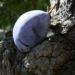 Zurück zum kompletten Bilderset Kultur-Pflaume Frucht blau lila Prunus domestica