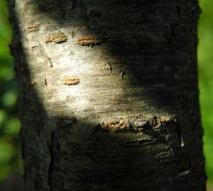 Kultur Pflaume Rinde braun grau Prunus domestica 03