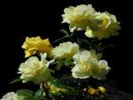 Kultur Rose Bluete gelb Rosa 01