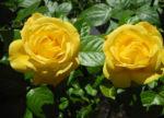 Kultur Rose Bluete gelb Rosa 07
