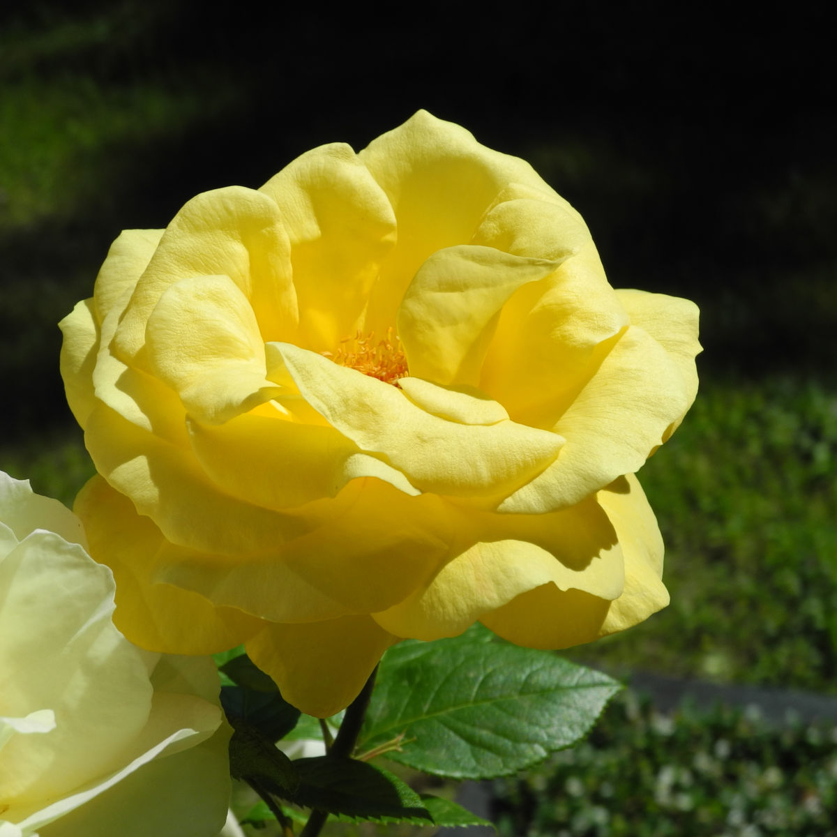 Kultur Rose Bluete gelb Rosa