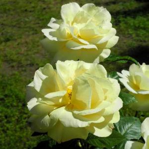 Kultur Rose Bluete gelb Rosa 09