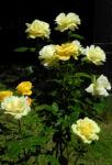 Bild: Kulturrose Blüte gelb Rosa