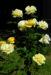 Zurück zum kompletten Bilderset Kulturrose Blüte gelb Rosa