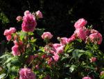 Kultur Rose Bluete rosa Rosa rosa 02