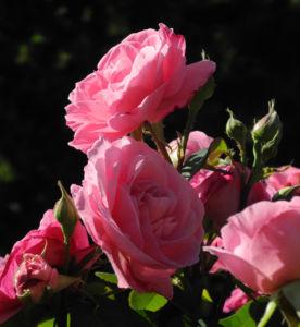 Kultur Rose Bluete rosa Rosa rosa 03