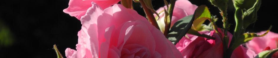 kultur-rose-bluete-rose-rosa-rosa