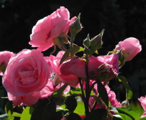 Kultur Rose Bluete rosa Rosa rosa 05
