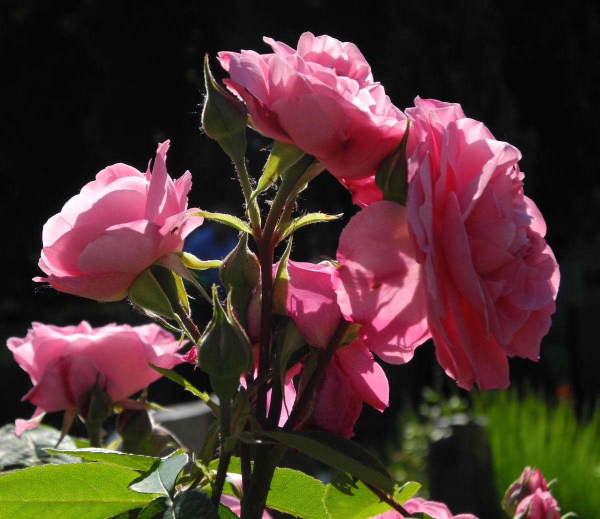 Kultur Rose Bluete rosa Rosa rosa