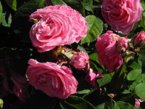 Kultur Rose Bluete rosa Rosa rosa 07