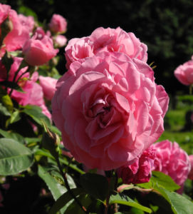 Kultur Rose Bluete rosa Rosa rosa 08