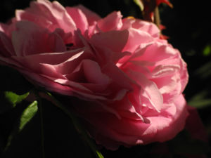Kultur Rose Bluete rosa Rosa rosa 09