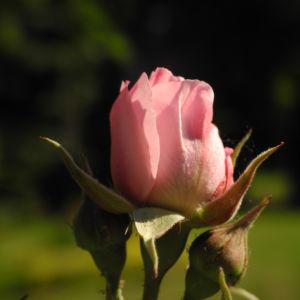 Kultur Rose Bluete rosa Rosa rosa 11