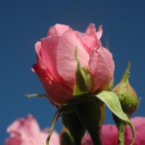 Kultur Rose Bluete rosa Rosa rosa 14