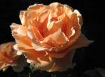 Kulturrose Bluete gross orange rosa rosa 01
