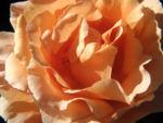 Kulturrose Bluete gross orange rosa rosa 02