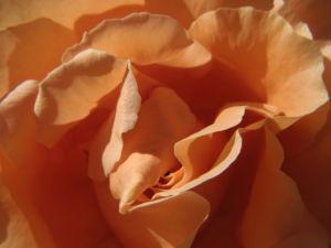 Kulturrose Bluete gross orange rosa rosa 03