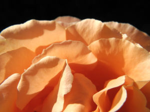 Kulturrose Bluete gross orange rosa rosa 04