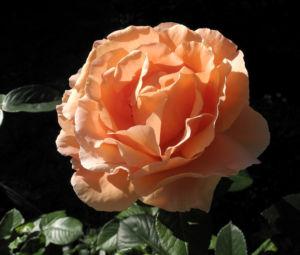 Kulturrose Bluete gross orange rosa rosa 05