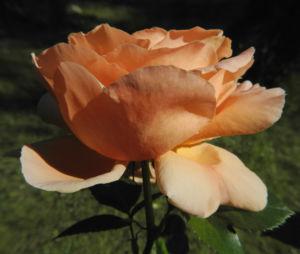 Kulturrose Bluete gross orange rosa rosa 17