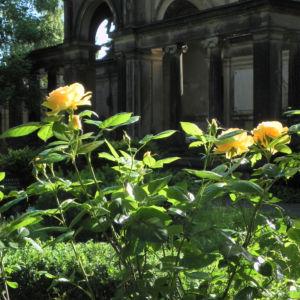Kulturrose Bluete orange Rosa 14
