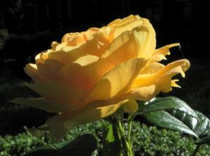 Kulturrose Bluete orange Rosa 15